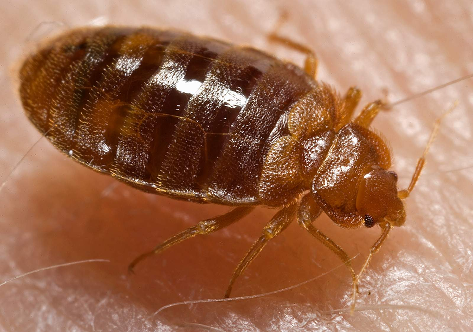 Close-up of a bed bug