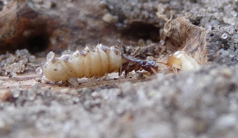 Close-up of termite queen