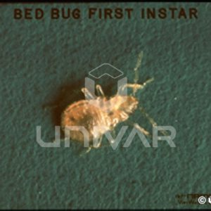 Bed Bug First Instar