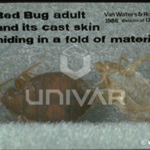 Bed Bug Cast Skin
