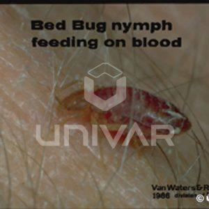 Bed Bug Nymph Feeding
