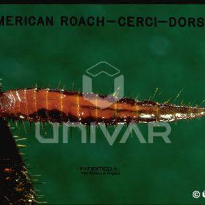 American Cockroach Cerci Dorsal