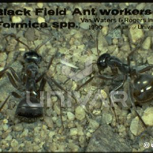 Black field ant workers