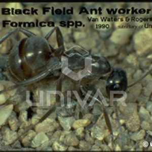 Black field ant worker