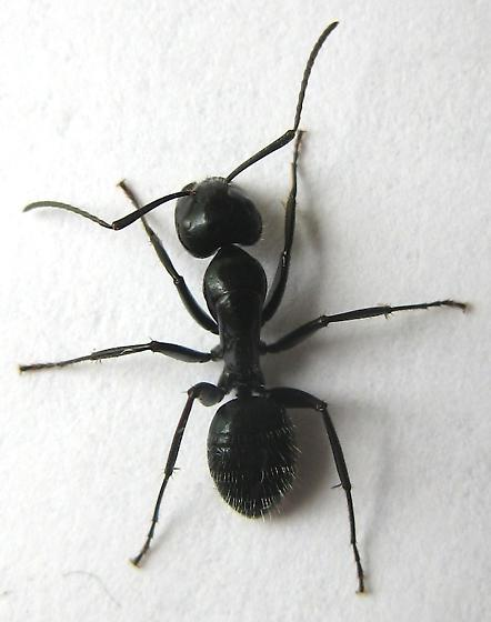 Carpenter Ant photo by Jim Moore, Black Field Ant photo by Ilona Loser, http://bugguide.net/node/view/610315