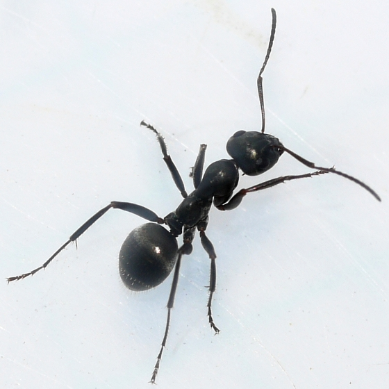 Black Field Ant photo by Ilona Loser, http://bugguide.net/node/view/610315