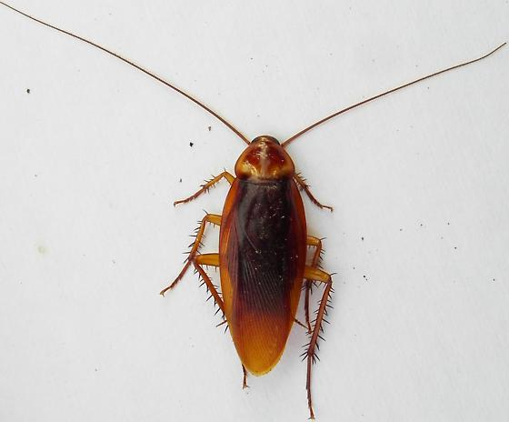 American Cockroach photo by Iustin Cret, http://bugguide.net/node/view/738333