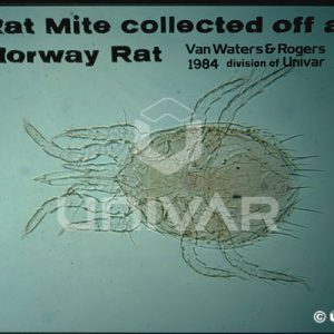 Rat Mite from Norway Rat