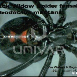 Black Widow Spider Female