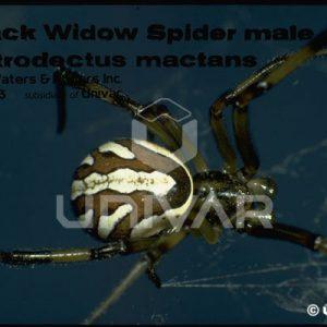 Black Widow Spider Male