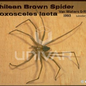 Brown Recluse Spider Close-up