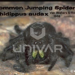 Jumping Spider Front