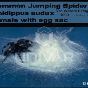 Jumping Spider Female with Egg Sac
