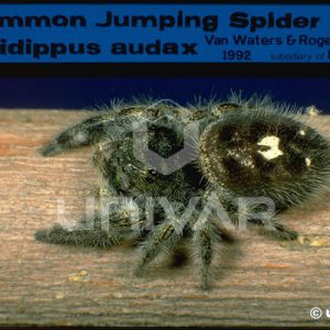 AS06_16Jumping Spider