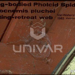 Cellar Spider Mating-Retreat Web