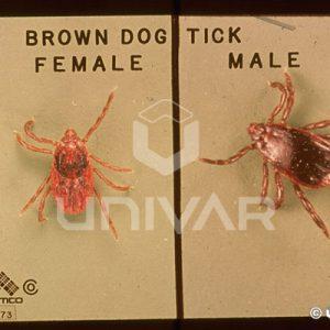Brown Dog Tick Male Female Comparison