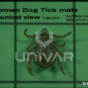 Brown Dog Tick Male