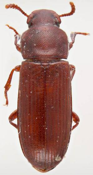 Confused Flour Beetle photo by Pest and Diseases Image Library, http://bugguide.net/node/view/897695