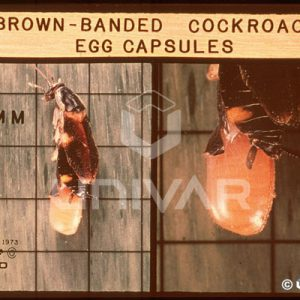 Brown Banded Cockroach Egg Capsules