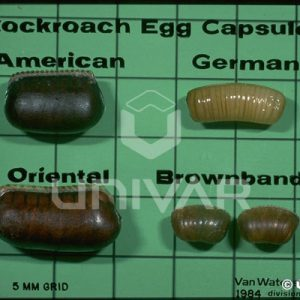 Cockroach Eggs Comparison