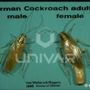 German Cockroach Male and Female Comparison