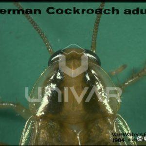 German Cockroach Head