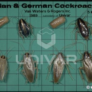 Asian and German Cockroaches