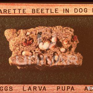 Cigarette Beetle Infestation