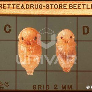 Cigarette & Drugstore Beetle Pupa
