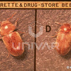 Cigarette & Drugstore Beetle Top