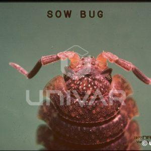 Sowbug Antennae