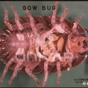 Sowbug Underside