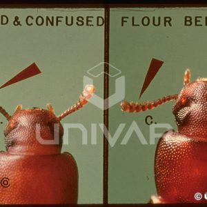 Red & Confused Flour Beetle Antennae