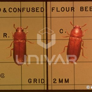 Red & Confused Flour Beetle
