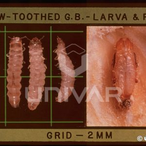 Saw-Toothed Grain Beetle Larva & Pupa