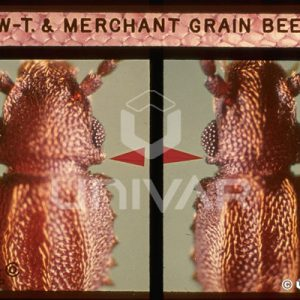 Saw-Toothed & Merchant Grain Beetle Detail