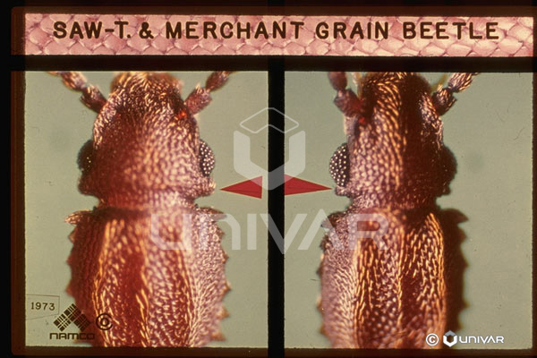 Merchant Grains Saw-toothed Merchant Grain
