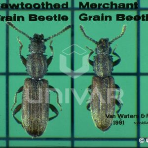Saw-Toothed & Merchant Grain Beetle