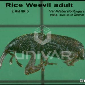 Rice Weevil Side