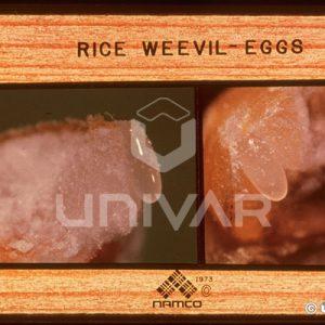Rice Weevil Eggs