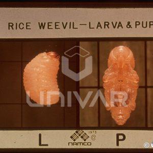 Rice Weevil Larva