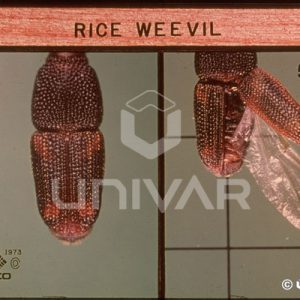 Rice Weevil Wing
