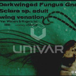Fungus Gnat Wing