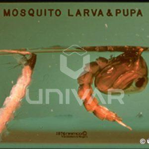 Mosquito Larva & Pupa