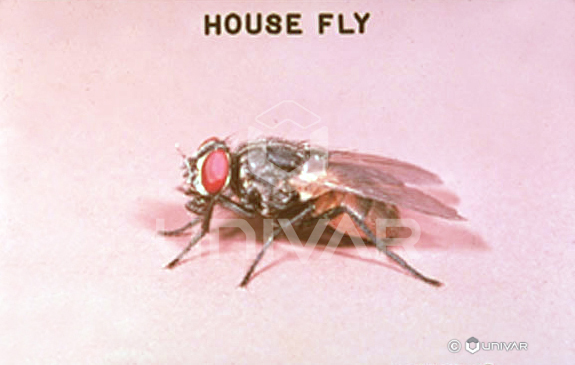 House Fly Side
