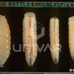 Blow & House Fly Larva