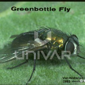 Blow Fly (Greenbottle)