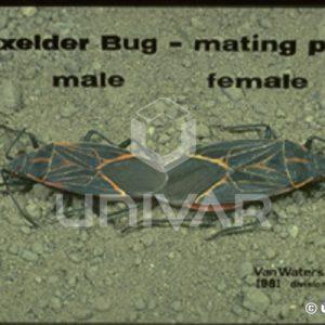 Boxelder Bug Mating Pair