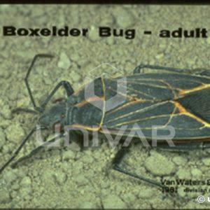Boxelder Bug Adult