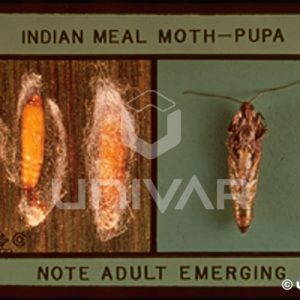 Indian Meal Moth Pupa